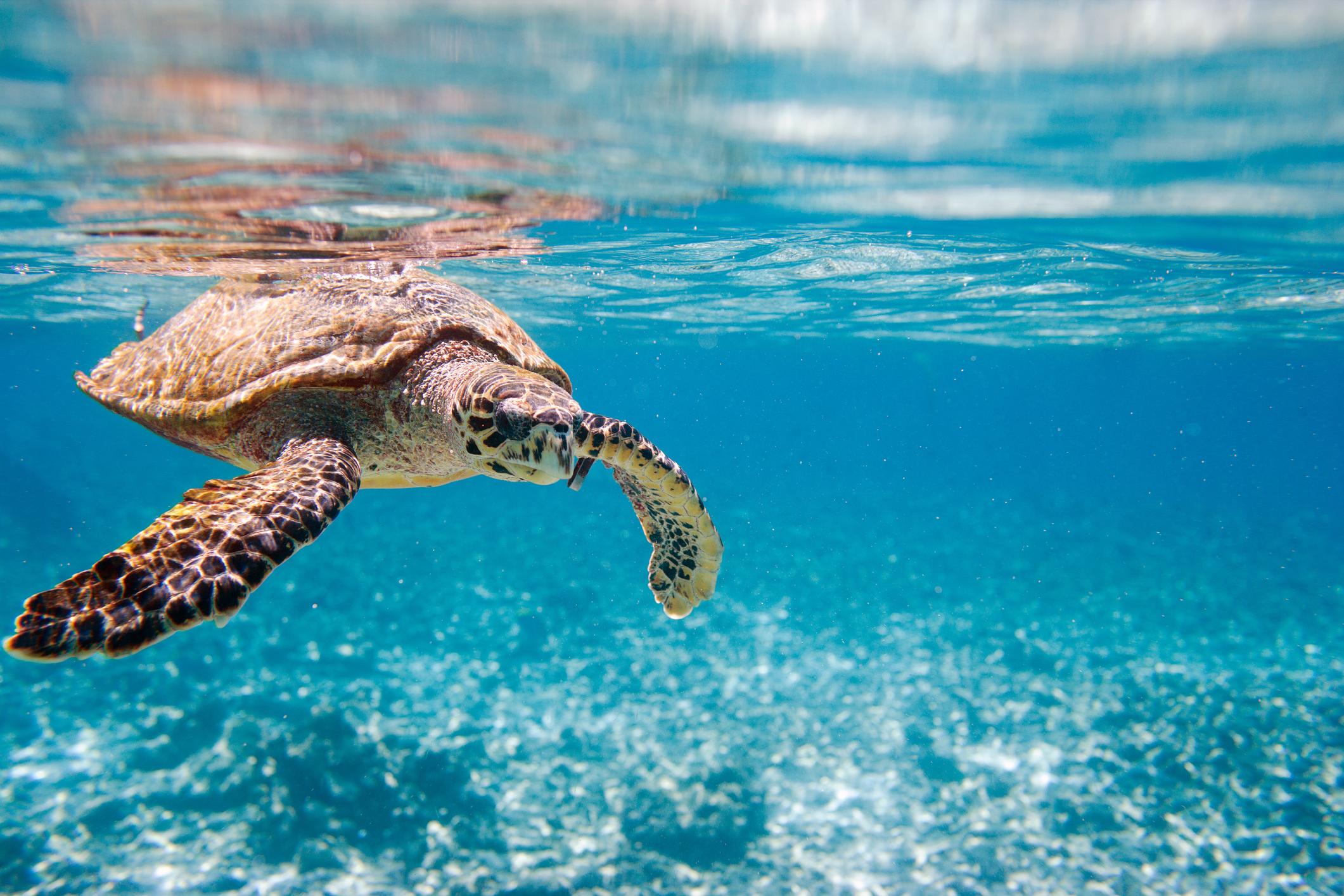 indischer ozean riesenschildkroete auf den seychellen