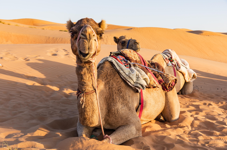 weltreise kamelle in der wueste